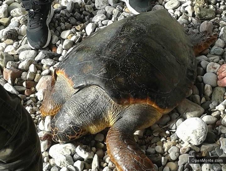 Новости Черногории: Жители черногорского бара приняли участие в спасении большой морской черепахи