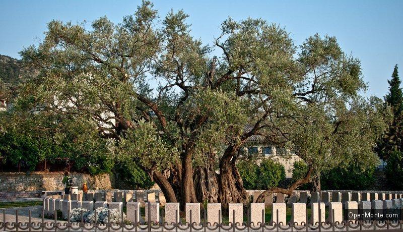 Новости Черногории: Старейшая в Европе оливка, которая растет в Баре, насчитывает 2240 лет