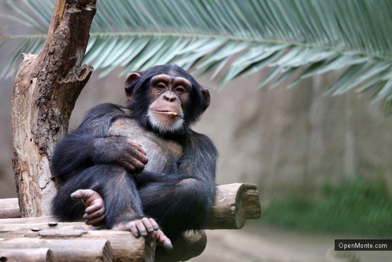 Это интересно: Шимпанзе сбил в зоопарке дрон при помощи самодельного копья