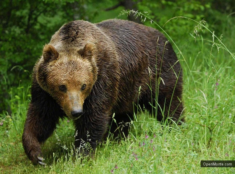 Новости Черногории: В национальном парке Черногории туристам встретился медведь
